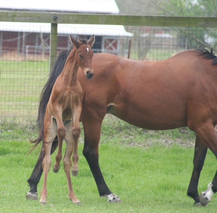Image Result For Hanoverian Horses For Sale In Texas